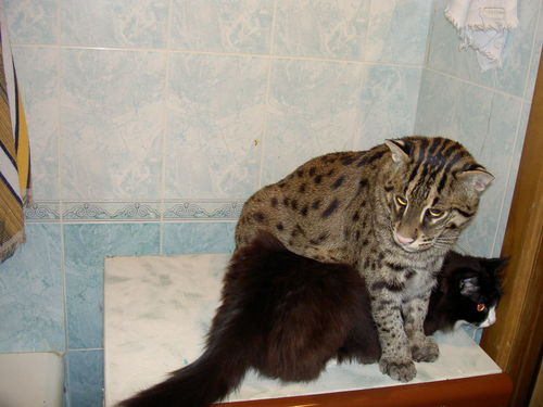 favorite pets more mefi the fishing cat