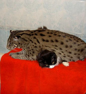 Favorite pets more mefi the fishing cat for The fishing cat