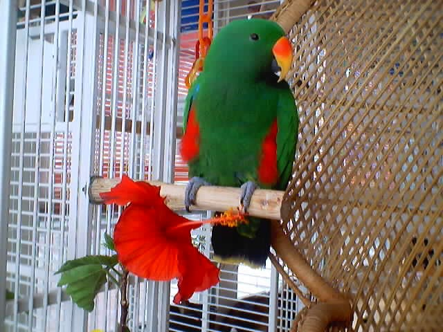 my favourite pet parrot